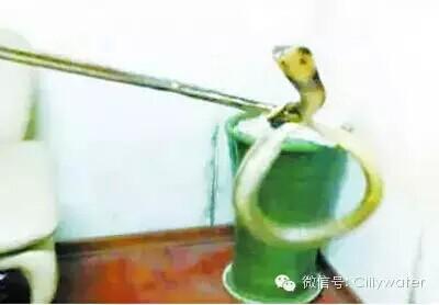 剧毒银环蛇爬进桶装水桶里